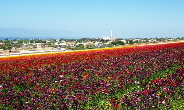 カールスバッド フラワーフィールド Carlsbad Flower Fields
