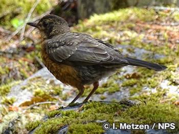 ブルーバード、ロビン、ツグミ Bluebirds, Robins, & Thrushes