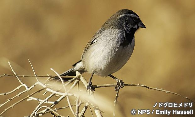 ノドグロヒメドリ Black-throated sparrow