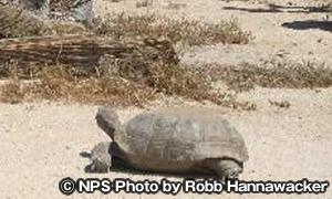 サバクゴファーガメ Desert Tortoise