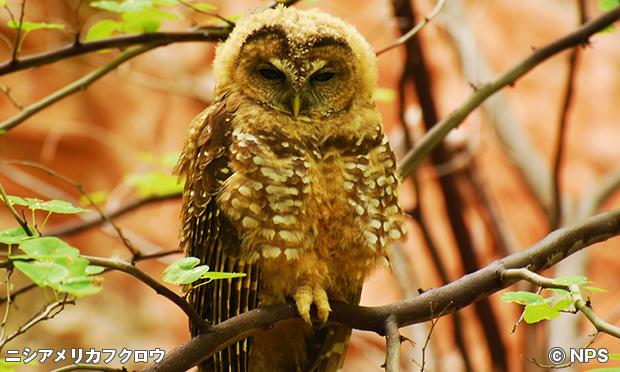 メキシカン・ニシアメリカフクロウ Mexican Spotted Owl