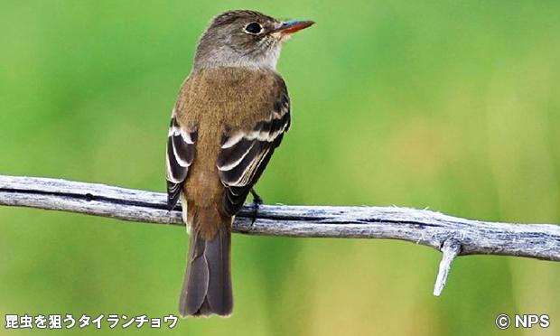 タイランチョウ Southwestern Willow Flycatcher