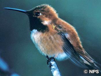 ハチドリ Hummingbird