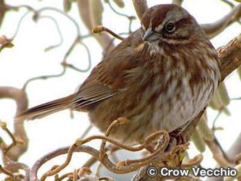 スズメ Sparrows