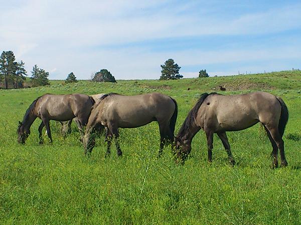 ブラックヒルズ野生馬保護区